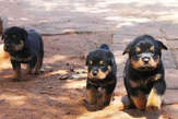 Chiots Rottweiler - Congo-Brazzaville