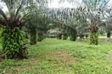 Plantation Palmier à Huile 5 ha à N'Zikro - Côte d'Ivoire