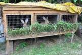 Rabbits for Sale - Cameroon