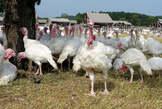 Live Big Healthy Turkey - Nigeria